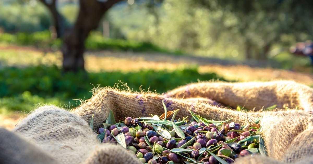 Olival Circular: Transformar bagaço de azeitona em fertilizante orgânico